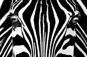 minimural cebra_moods